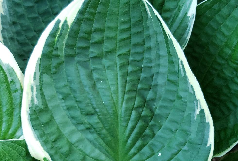 H. Green Gold