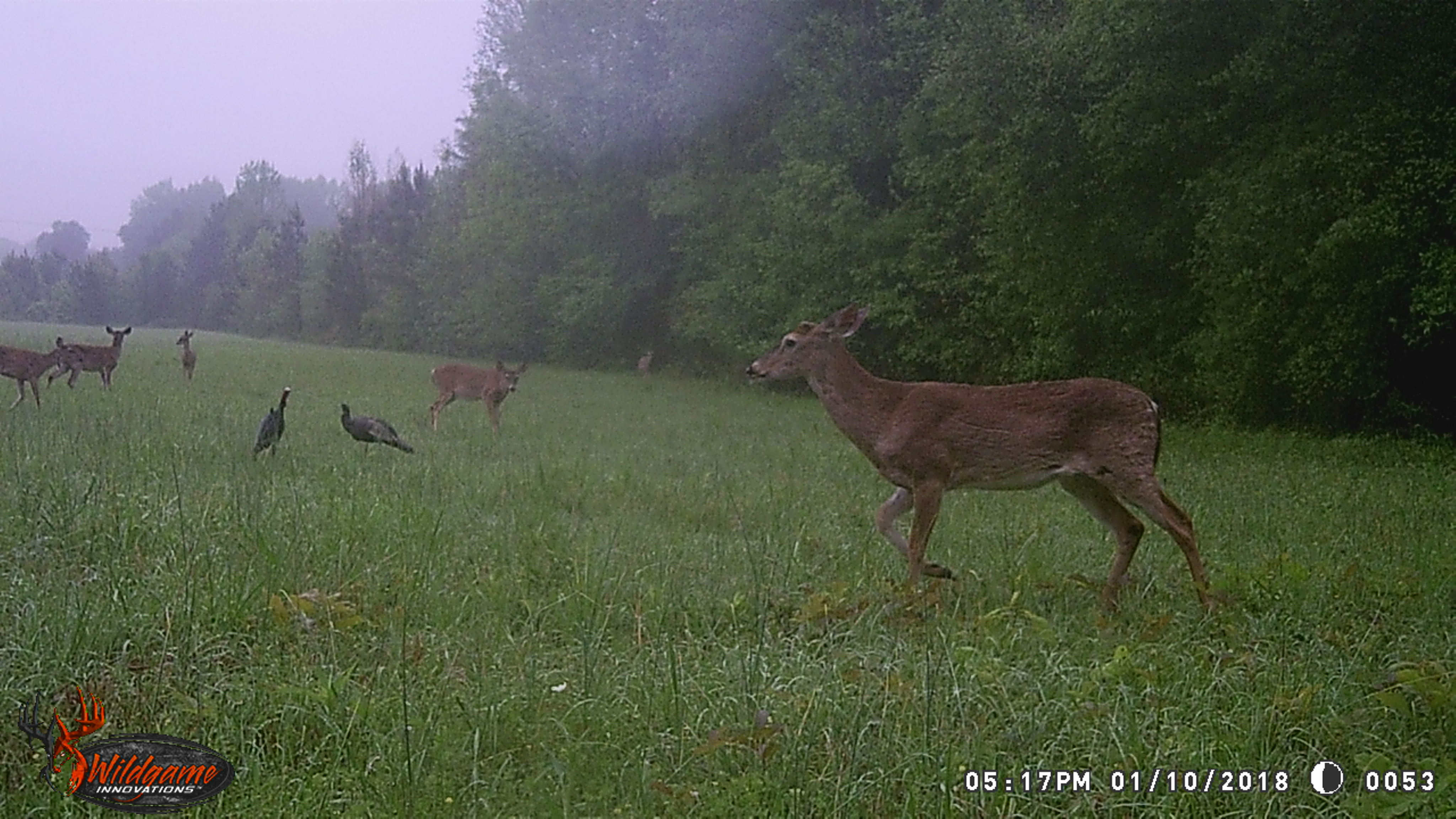 Deer and Turkeys in Field