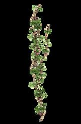 vine-ivy-plant-vine-9b5155d3bc9857a6f938