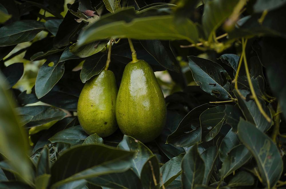 avocado-oil-for-skin