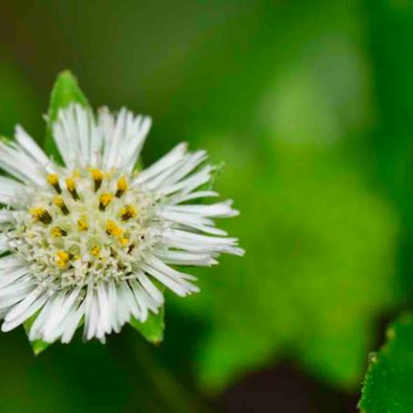 Bhringraj - The Lesser Known Herb