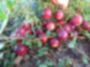 Первый урожай клюквы КРАСА СЕВЕРА в ЯГОДНОМ РАЗДОЛЬЕ