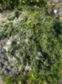 Астра вересковая  50.jpg