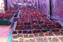 зимнее выращивание ежевики