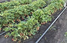 Хуан в ягоде 001 мини.jpg
