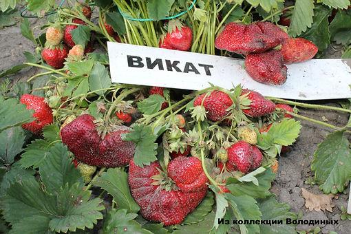 ягоды сорта Викат