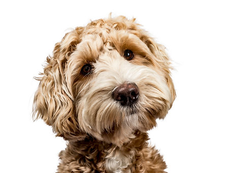 Head shot of golden Labradoodle with closed mouth, tilted head and looking straight at camera isolat