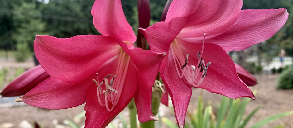 Plant of the Week: Crinum Lily