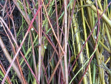 Winter work: Willow withy bed