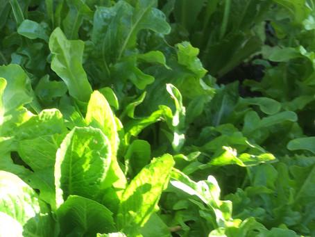 Big Grow how to grow and use no.6: Salads