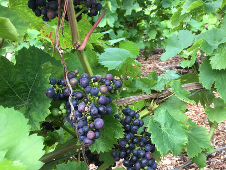 Grapes getting there...