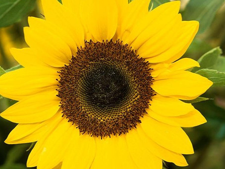 Big Grow how to grow and use no.7: Sunflowers