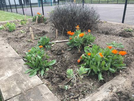 Bemrose School raised beds beginning to bloom!