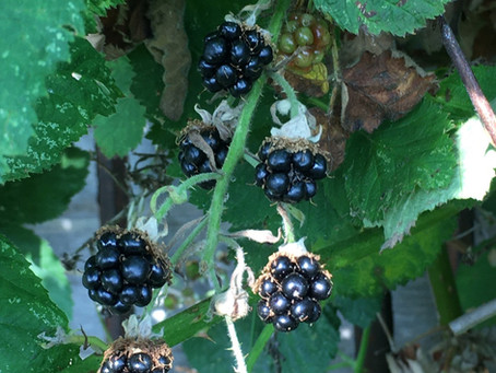 First blackberries of the year