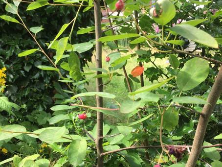 Juneberries!