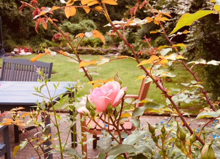 Beautiful roses & smelly mulch (lessons from the garden) - part 2