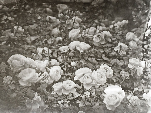 A Wet Collodion Ambrotype print study of Roses at RHS Hyde Hall.