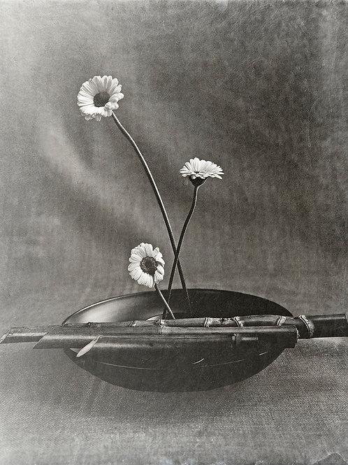A Wet Collodion Ambrotype print RHS Portfolio Small Gerbera's.
