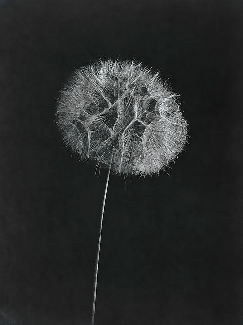 A Wet Collodion Ambrotype print of a Dandelion Clockhead.