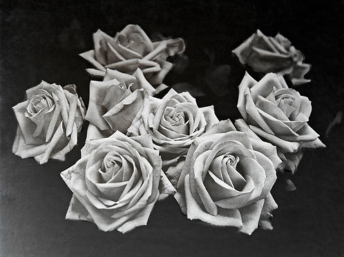 A Wet Collodion Ambrotype print of 8 White Roses