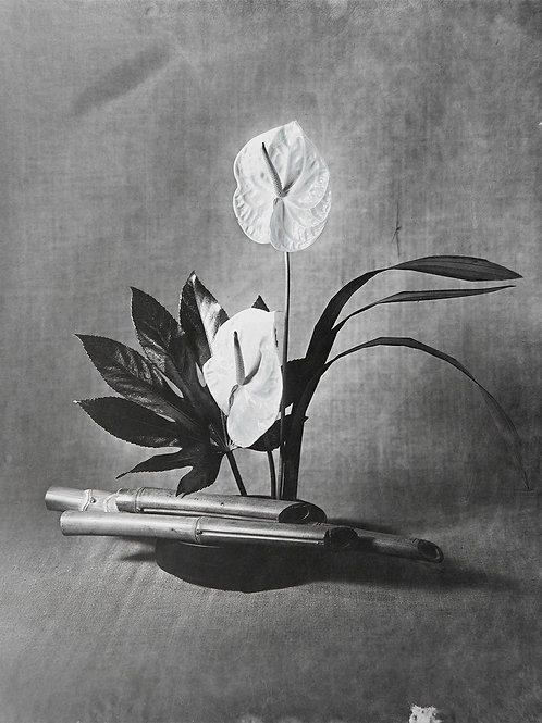 A Wet Collodion Ambrotype print of RHS Silver Gilt Medal Anthurium