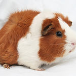 guinea-pig-2-1.jpeg