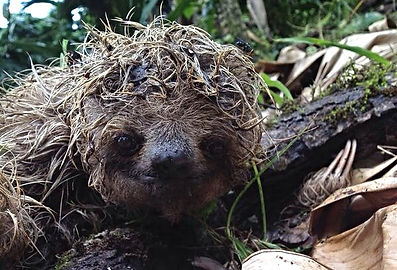 Three-toed sloth endangered