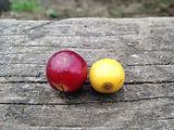 Red yellow catuai.JPG