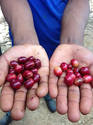 ripe-and-unripe-coffee-cherries.jpg