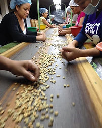 Coffee-sorting-e1516743733594.jpg