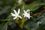 Java flower (2).JPG