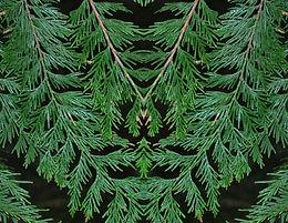 CedarMirrorGr1 copy.jpg