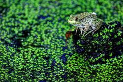 Frog at Wildwood Park