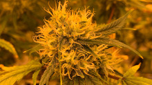 Hur kan man upptäcka att någon använder cannabis?
