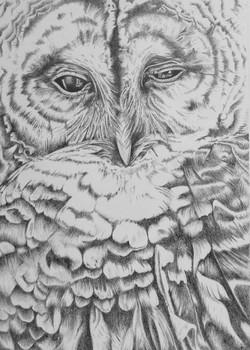 Hoot, graphite pencil