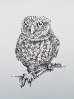 Titch, Little Owl - sketch