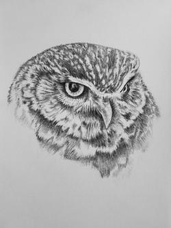 Owl - pencil sketch