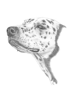 Dalmation - graphite drawing