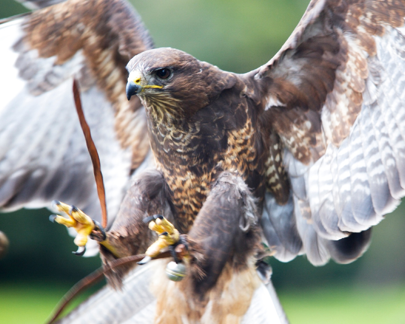 'Buzz' our amazing Common Buzzard - Buteo buteo