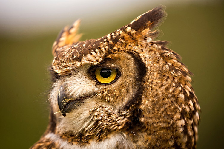 African Spotted Eagle Owl eye