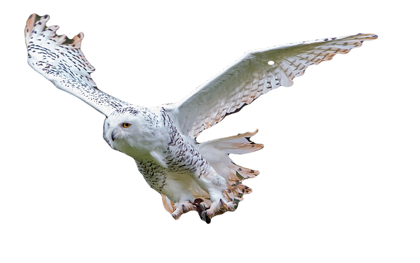 snowy Owl in Flight Exmoor Owls_edited.p