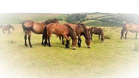 Exmoor Ponies, ENP_edited.jpg