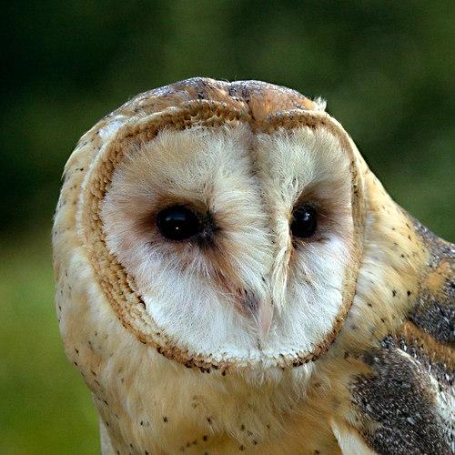 Barn Owl eyes