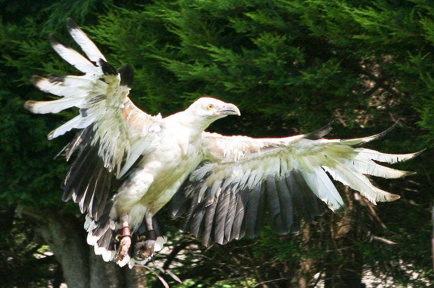 Mwala - African Palm Nut Vulture