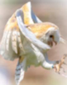 Barn Owl in flight_edited.jpg