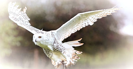 snowy Owl in Flight Exmoor Owls_edited.j