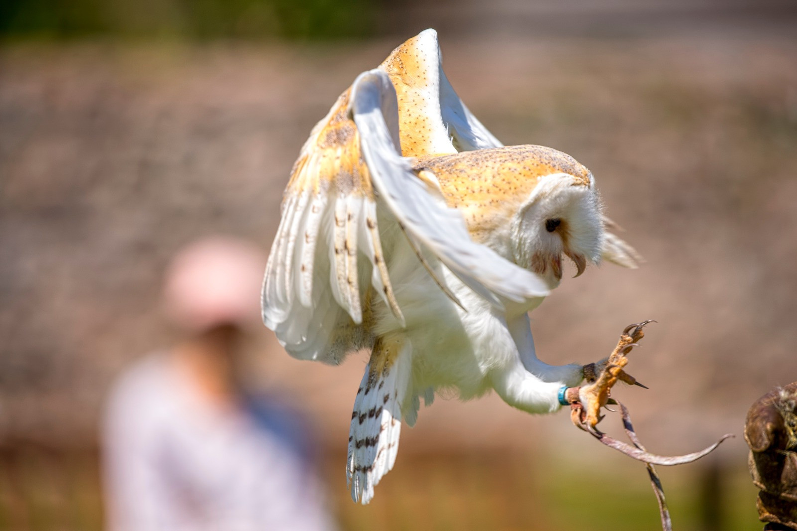Barn Owl landing talons feathers