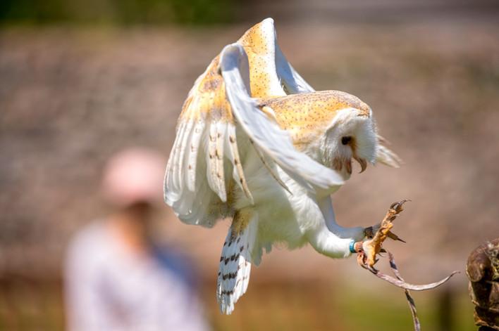Barn Owl landing talons feathers