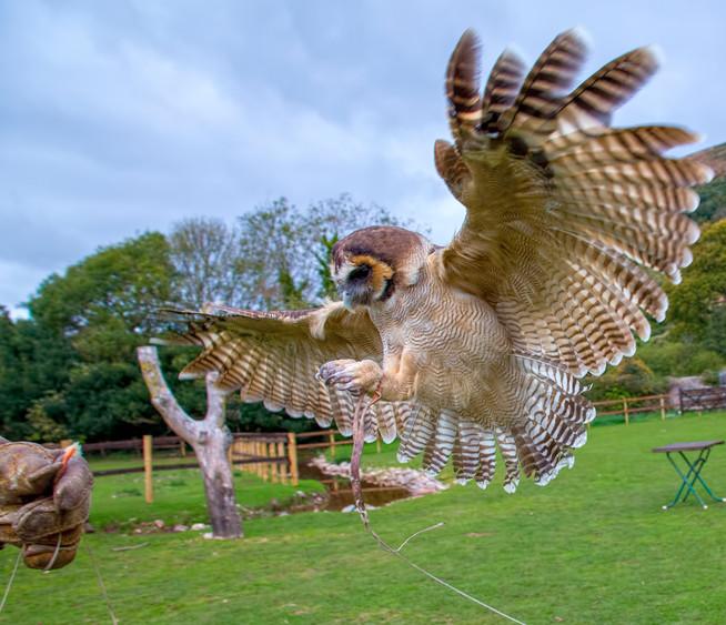 Laysha - Asian Brown Wood Owl