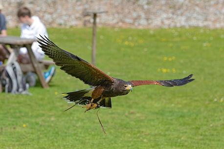 Elsa, Harris Hawk Flying Display